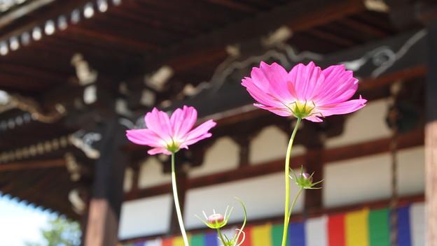 Photos: 般若寺 コスモス 2016(見ごろ)