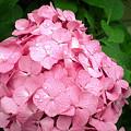 梅雨の合間の紫陽花