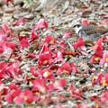 椿の落花に埋もれて・・ツグミ