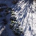 写真: 速報! マイガーデンは雪化粧