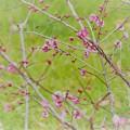 写真: 春よ
