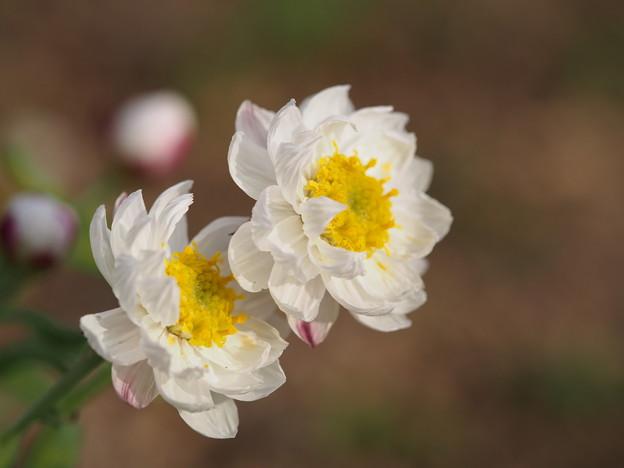 写真: 衣更着の花