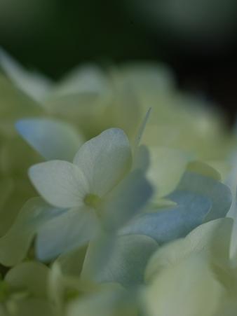 紫陽花_彩づく