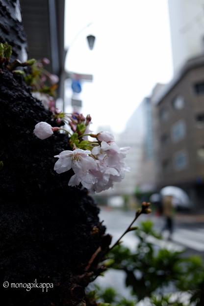 写真: 開花-3105