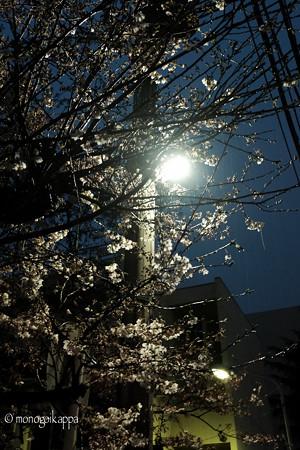 開花_夜桜-3130