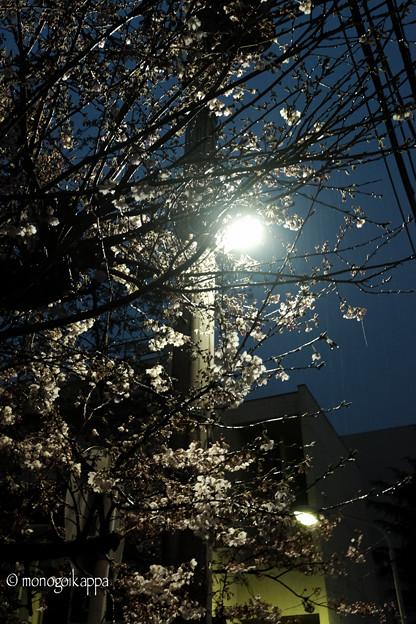 写真: 開花_夜桜-3130
