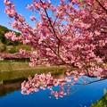 Photos: 満開になった伊豆河津町の河津桜。。真ピンクで。。2月28日