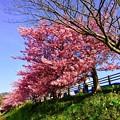 Photos: 土手沿いに咲く満開河津桜。。伊豆河津町2月28日