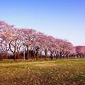 旧米海軍上瀬谷通信施設跡地から見える海軍道路の桜並木 3月31日