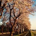 朝焼けの海軍道路桜並木と散歩コース。。3月31日
