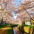 厚木基地から近い閑静な住宅街に流れる引地川と桜並木。3月31日