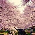 引地川を覆うくらいな桜。。3月31日