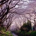 朝の散歩したくなる引地川沿いに咲く千本桜。。3月31日