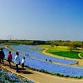 ひたち海浜公園のネモフィラ畑のパノラマ風景・・4月25日