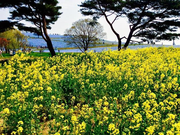 Photos: ネモフィラに負けずに黄色の菜の花・・ひたち海浜公園 4月25日