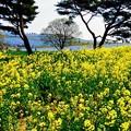 ネモフィラに負けずに黄色の菜の花・・ひたち海浜公園 4月25日