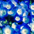 青いネモフィラ群・・ひたち海浜公園 4月25日
