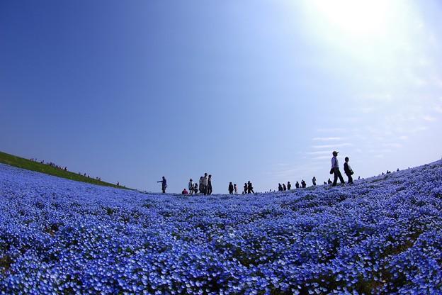 Photos: 太陽の下に咲くネモフィラ畑・・魚眼で・・4月25日