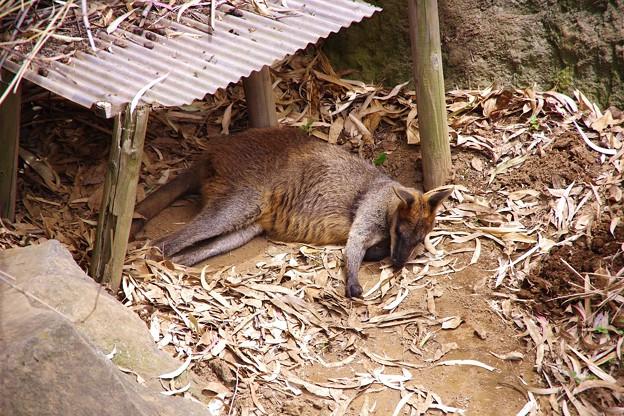 ワラビーもお寝んね中。。笑(^^)。。よこはま動物園ズーラシア5月25日
