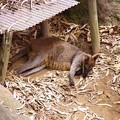 写真: ワラビーもお寝んね中。。笑(^^)。。よこはま動物園ズーラシア5月25日