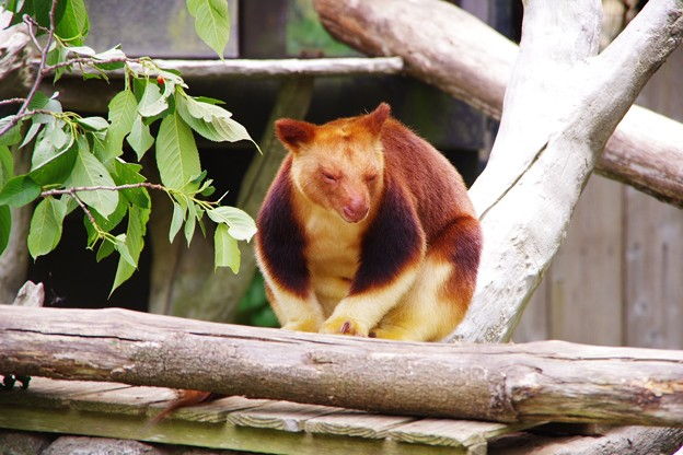 世界に50頭もいない珍しいカンガルー。。キノボリカンガルー よこはま動物園ズーラシア5月25日