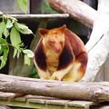写真: 世界に50頭もいない珍しいカンガルー。。キノボリカンガルー よこはま動物園ズーラシア5月25日