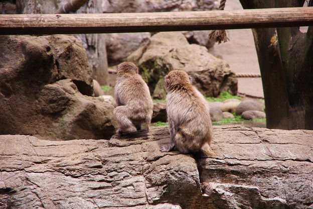 仲良くしているお猿の兄弟かな。。笑(^^) よこはま動物園ズーラシア5月25日
