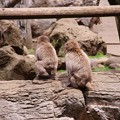 写真: 仲良くしているお猿の兄弟かな。。笑(^^) よこはま動物園ズーラシア5月25日