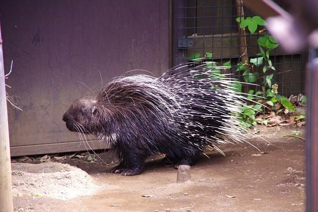 活発に動き回るヤマアラシ。。よこはま動物園ズーラシア5月25日