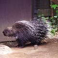 写真: 活発に動き回るヤマアラシ。。よこはま動物園ズーラシア5月25日