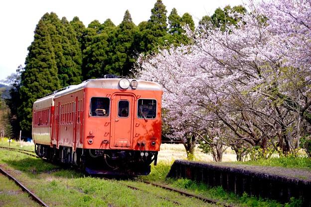 いすみ鉄道国吉駅へ到着のキハ52。。桜とともに。。20160409