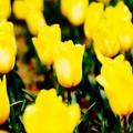 ボケ感出して。。黄色いチューリップ。。昭和記念公園 20160416