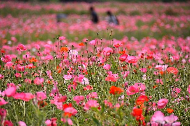 満開のポピー畑。。くりはま花の国 20160529