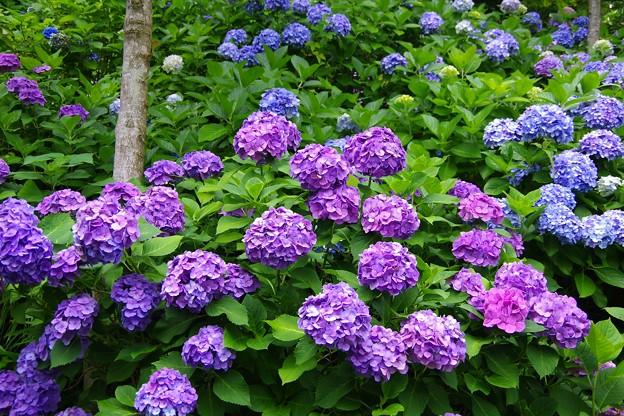 長谷寺の色鮮やかな紫色の紫陽花。。20160624