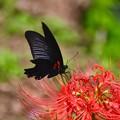 巾着田の曼珠沙華に蝶々。。もう時期秋へ。。20160925
