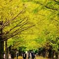 賑やかになる昭和記念公園イチョウ並木。。20161110