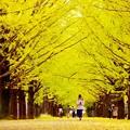 まるでイチョウのトンネル。。昭和記念公園  20161110
