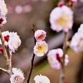写真: 撮って出し。。満開の小田原フラワーガーデンの梅。。2月5日