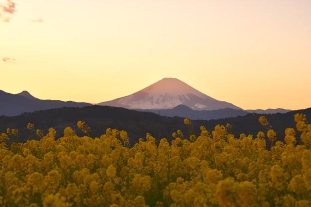 夕焼けに染まる富士山と菜の花。。吾妻山公園 20170121