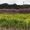 撮って出し。。伊豆の河津町の河津桜と菜の花。。2月18日