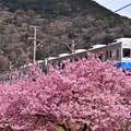 撮って出し。。やっぱり河津桜とのコラボ 伊豆急行線旧東急8000系 下田へ 2月18日
