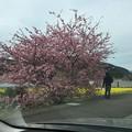 撮って出し。。今年は10日も早く満開の伊豆の河津町の河津桜 2月18日