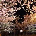 撮って出し。。今年はライトアップまでじっくり見物 河津町の河津桜。。2月18日