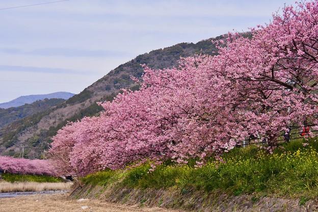 河津川を両側に河津桜。。満開 20170218