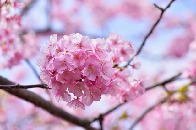 淡いピンク色。。伊豆河津町の河津桜 20170218