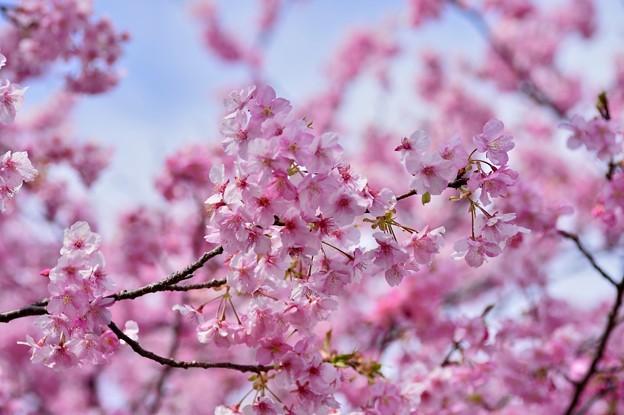 青い空のキャンパスに。。ピンクの河津桜 20170218