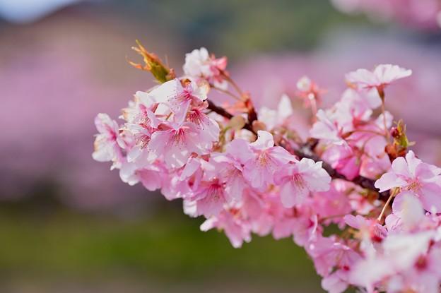 枝にいっぱい花咲く河津町の河津桜。。20170218