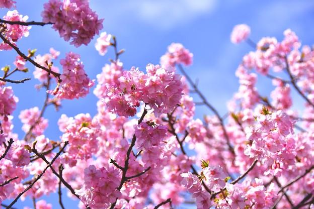 気持ちいい青い空で満開の河津桜。。20170218
