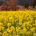 夕暮れの伊豆河津町。。黄色い菜の花畑も黄色いから赤らめて 20170218