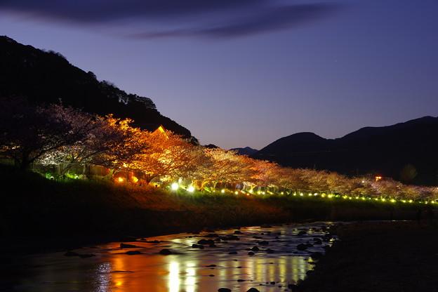 河津川沿い河津桜。。ライトアップで綺麗夜の花へ。。20170218